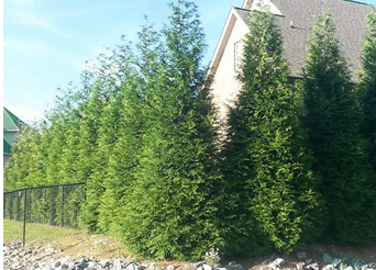 Wind Chime Nursery Grows Green Giant Thuja S Amp Other